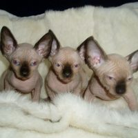 Beautiful Blue Eyed Sphynx kittens.. whatsapp for more information and pictures:+447418332038