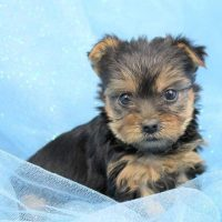 AKC Teacup Yorkie Puppies,Text us @ (804) 818-6065