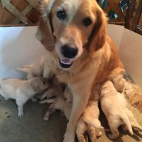 Golden Retriever AKC Puppies