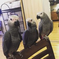 Beautiful African grey parrots