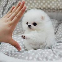 "***Tiny Male ""Teacup"" Pomeranian Puppy***"