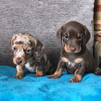 Gorgeous Dachshund Pups