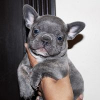 Lovely Micro Blue French Bulldog Puppies For lovely Homes.