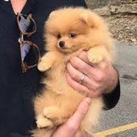 male and female Pomerania puppy ready for a