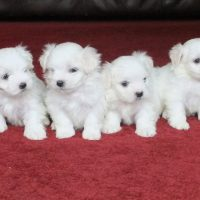 Very Cute  MicroTeacup Maltese  Puppies males and females for sale