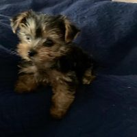 Cute Beautiful AKC Male Teacup Yorkie Puppy For Rehome