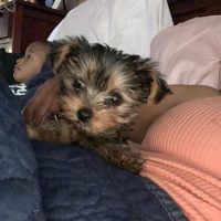 Healthy AKC Male Teacup Yorkie Puppy For Rehome