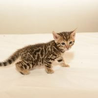 Pure Bred Bengal Kittens For Sale