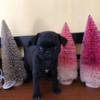 pugs for sale, Pugs puppy for sale near me, pugs, pug puppies for sale, pug puppy available here