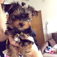 Adorable outstanding yorkie puppies ready