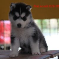 Pomsky and Siberian Husky Puppies Available Text (571) 393-6027