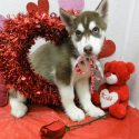 Home raised male and female siberian huskies available  (571) 374-8326