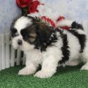 Cute Shih Tzu Puppies To Give Out