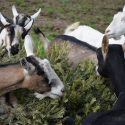 Goats for sale (Dairy and Meat goats)