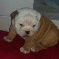 ENDGLISH BULLDOGS AVAILABLE FOR SALE