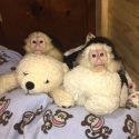 Gorgeous capuchin monkeys now available