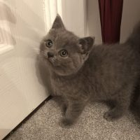 Amazing Active British Shorthair Male&femal Kittens For Sale,tica Registered!!!