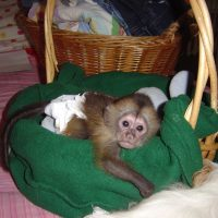 Adorable Male and Female Baby Capuchin Monkeys txt at (412) 397-7903