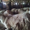 Outstanding Sheep flock for sale.#(240)900-0290