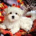Amazing Teacup Maltese Puppies.Text(469) 423-7665