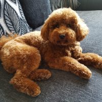 Pure Bred Full Pedigree Maltipoo puppies for sale