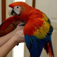 couple of scarlet macaw parrots for adoption