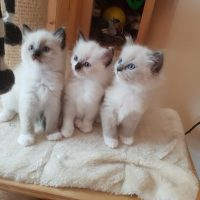 super intelligent ragdoll kittens now ready for sale