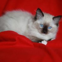 adorable birman kittens now ready for sale to loving homes