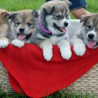 male and a female Pomsky puppies ready to leave us