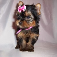 PLAYFUL YORKSHIRE TERRIER PUPPY AVAILABLE !